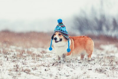cute  red dog Corgi walks on a field in a winter day in a funny blue knitted hat with earflaps during a snowfall