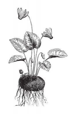 Plakat Cyclamen / vintage illustration from Meyers Konversations-Lexikon 1897
