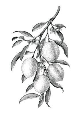 Plakat Cytryna gałęziasta ilustracyjna czarny i biały rocznik klamerki sztuka odizolowywa na białym tle