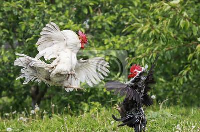 czarne i białe koguty walczą trzepotanie skrzydła i leci w letnim ogrodzie