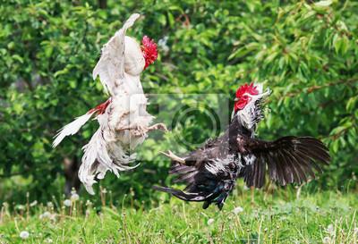 Czarne i białe koguty zamykane w bitwie startujących machając piórami i skrzydłami latem