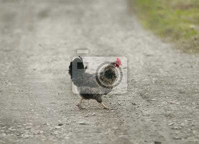 Czarny kurczak przecinający drogę w wiosce
