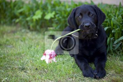 Plakat czarny labrador na zewnątrz