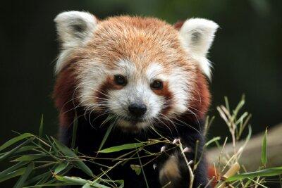 Plakat Czerwona panda (Ailurus fulgens).