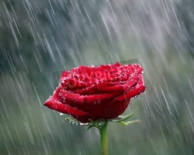 Plakat Czerwona róża w deszcz. Płytkie DOF