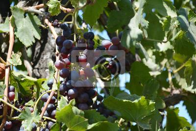 Plakat Czerwone winogrona