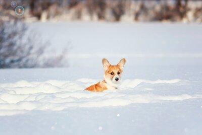 Czerwony Corgi szczeniaka obsiadanie w głębokich białych zaspie w zimie w parku na słonecznym dniu