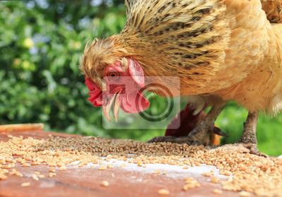 czerwony kurczak dzioby Ziarna pszenicy złotej w ogrodzie letnim na drewnianym stole