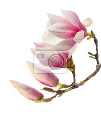czerwony magnolia