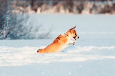 czerwony szczeniak Corgi śmieszne łapie lśniące mydło piękne bąbelki zimą Sunny Park zręcznie skacze w białych zaspach