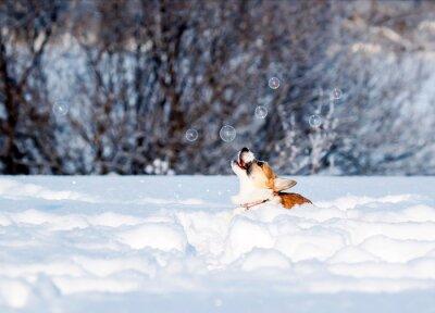 czerwony szczeniak Corgi zręcznie łapie lśniące bańki mydlane piękną zabawę skacząc na białym śniegu w zimowym Słonecznym Parku