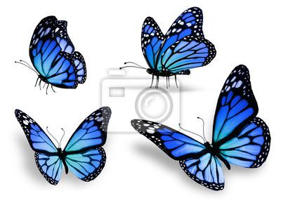 Plakat Cztery niebieski motyl, na białym tle na wymiar • czarny, piękno,  tło • REDRO.pl
