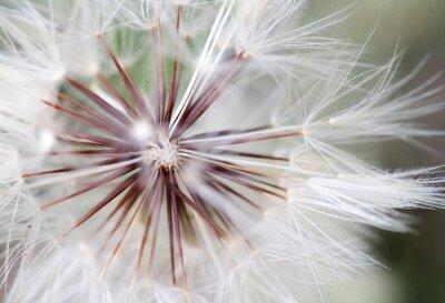Plakat dandeion kwiat z bliska