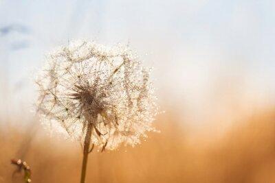 Plakat Dandelion flower