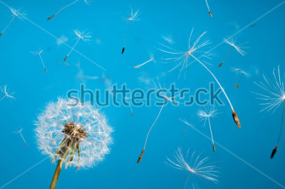 Plakat dandelion fluff from aircrafts in the sky