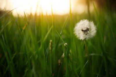 Plakat Dandelion green grass on spring meadow