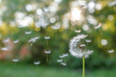 Plakat Dandelion in the wind