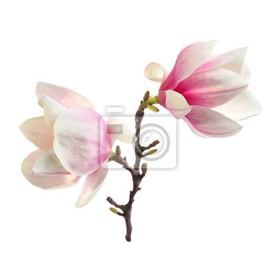 Plakat dekoracji magnolii