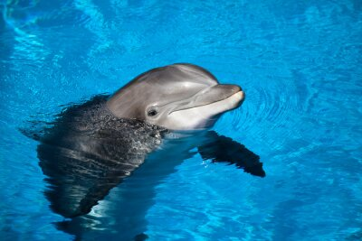 Plakat delfin
