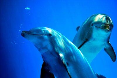 Plakat delfiny ciekawi