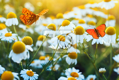 Plakat different beautiful butterflies fluttering and sitting on a bright meadow on a gentle Bellamy flowers daisies on a Sunny summer day