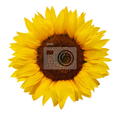 Plakat Dojrzałe słonecznik z żółtymi płatkami i ciemnym środku, na białym tle.