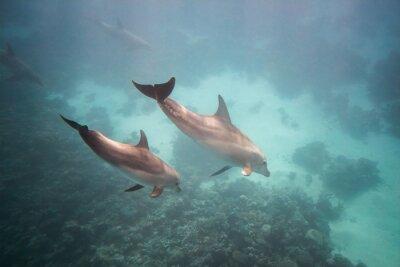 Plakat Dolphin podwodne
