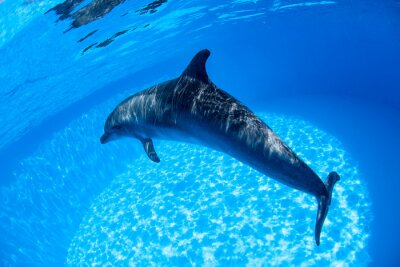 Plakat Dolphin swims under the water