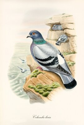 Plakat Dove on a rock looking at the sea. Other exemplars flying on background. Vintage style hand colored illustration of Rock dove (Columba livia). By John Gould publ. In London 1862 - 1873