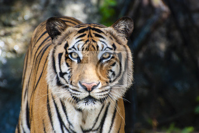 Plakat Duże Tygrys bengalski