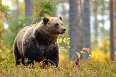 Plakat Duży niedźwiedź brunatny w kolorowy las patrząc na bok