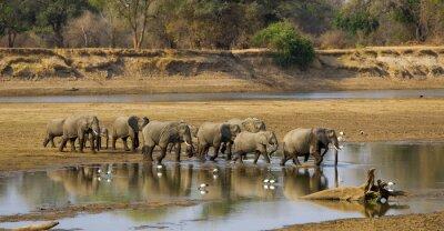 Plakat Duży słoń stado przekraczania rzeki Luangwa w Zambii