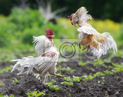 Dwa gniewne kurki walczą o rozprzestrzenianie się skrzydła i piór i pływające wysokie