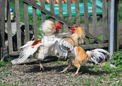 dwa jasne, rustykalne koguty walczące na farmie zabawne skrzydła i pióra oraz prowadzenie ostróg