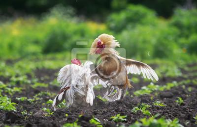 Dwa koguty walczą o rozprzestrzenianie się skrzydeł i piór i latającego wysokiego