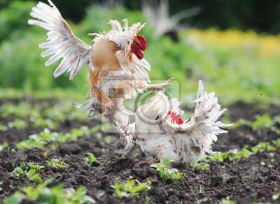 Dwa koguty walczą we wsi w ogrodzie kopiąc kurz i pióra