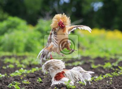 Dwa koguty walczą we wsi w ogrodzie kopiąc piórko