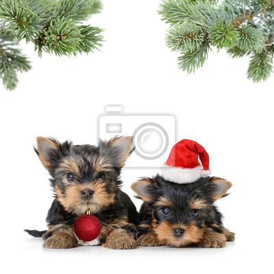 dwa pies yorkshire terrier w santa kapelusz samodzielnie na biały, Wesołych Świąt i Szczęśliwego Nowego Roku