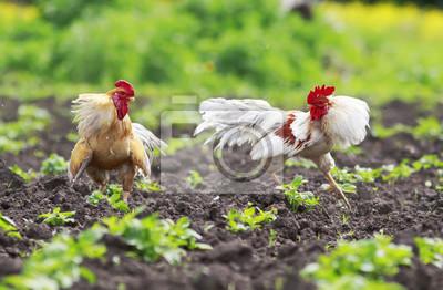 Dwa potężne kogutów planowane, aby przejść w słoneczny dzień w gospodarstwie