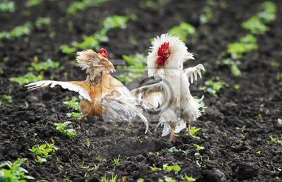 Dwa śmieszne rustykalne walki kogutów rozłożyły skrzydła i pióra i leciały wysoko na farmie