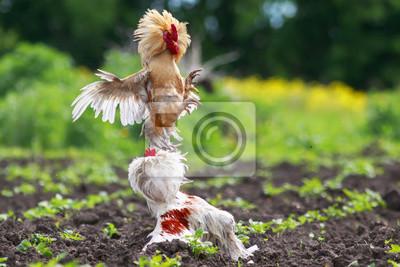 Dwa straszliwe walki kogut w wiosce, szeroko machając skrzydłami