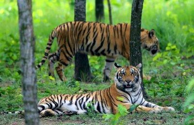 Plakat Dwa tygrysy bengalskie