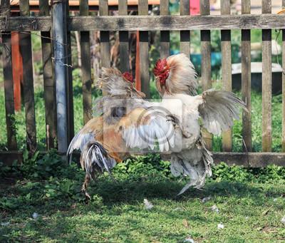 dwie agresywne walki kogutami na podwórkowej farmie wysoko wznoszące się i wyprostowane