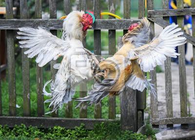 dwie energiczne, agresywne walki kogutami na farmie na podwórzu, wysoko wznoszące się i prostujące pióra