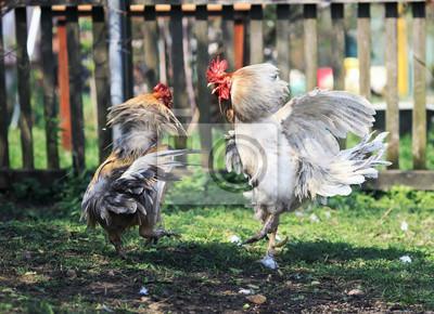dwie energiczne, agresywne walki kogutami w zabawnych skrzydłach i piórach na podwórzu