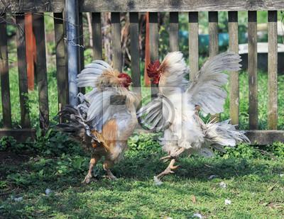 dwie energiczne walki kogutami w zabawnych skrzydłach i piórach na podwórzu