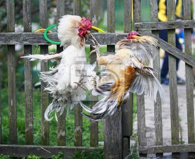 dwie gwałtowne, agresywne walki kogutami na podwórkowych farmach w wiosce, szybujące i prostujące pióra