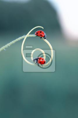 Plakat dwie piękne małe biedronki pełzające na krętym ostrzu trawy na jasnozielonej letniej łące