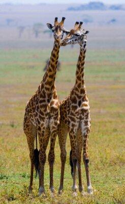 Plakat Dwie żyrafy w sawanny. Kenia. Tanzania. Wschodnia Afryka. Doskonałą ilustracją.