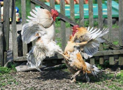 dwie żywiołowe walki kogutów na podwórku gospodarstwa zabawne skrzydła i pióra oraz wysokie skoki